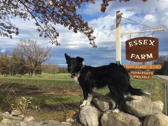 Essex Farm Dog with Sign
