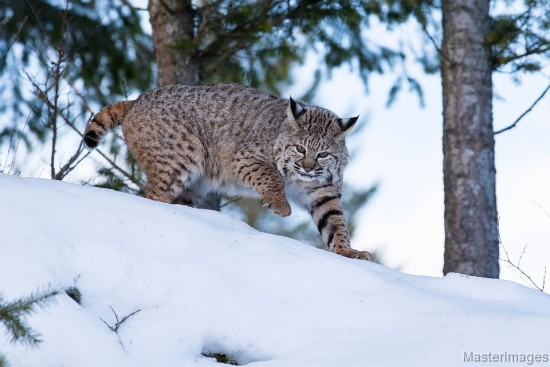 Bobcat by Larry Master (www.masterimages.org)