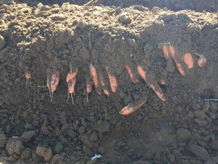 Harvesting carrots at Essex Farm (Credit: Kristin Kimball)