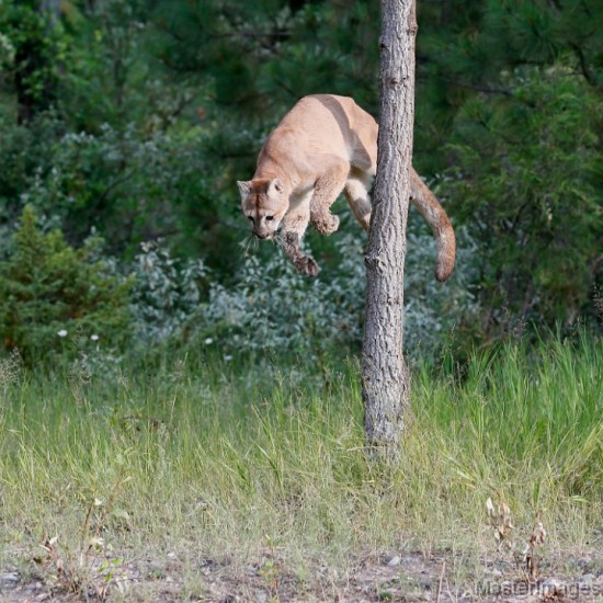 Cougar by Larry Master (www.masterimages.org)