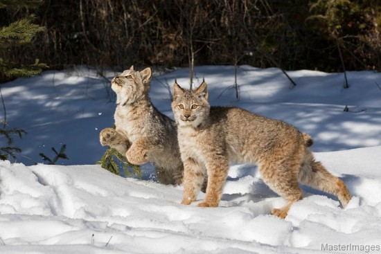 Juvenile Lynx by Larry Master (www.masterimages.org)