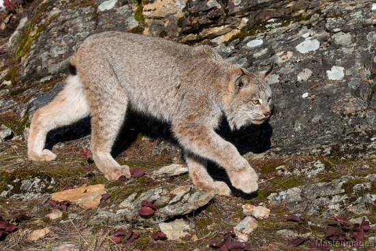 Lynx by Larry Master (www.masterimages.org)