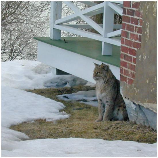 Chimney Point Bobcat (Source: Chimney Point State Historic Site, Addison, VT)