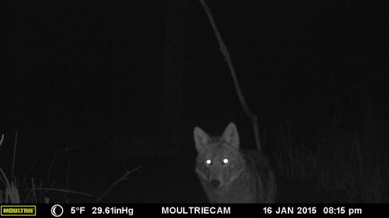Wildlife Camera: Eastern Coyote or CoyWolf