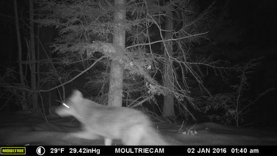 Wildlife Camera: Eastern Coyote or CoyWolf