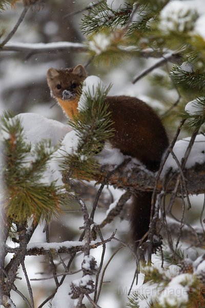 American Marten by Larry Master (www.masterimages.org)