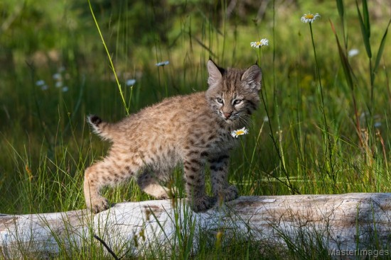 Bobcat kitten, Lynx rufus by Larry Master (www.masterimages.org)