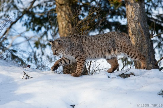 Bobcat, Lynx rufus by Larry Master (www.masterimages.org)