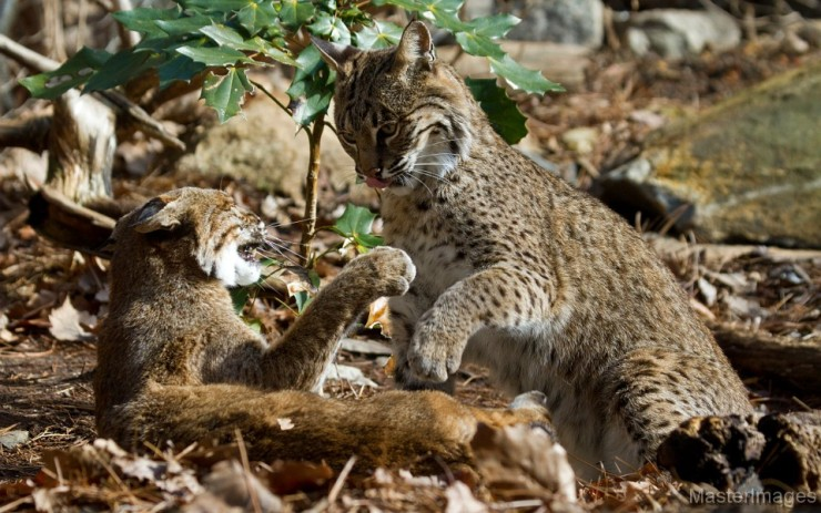Bobcats, Lynx rufus by Larry Master (www.masterimages.org)