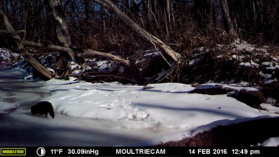 Wildlife Camera: Fisher on Frozen Brook (Credit: John Davis)
