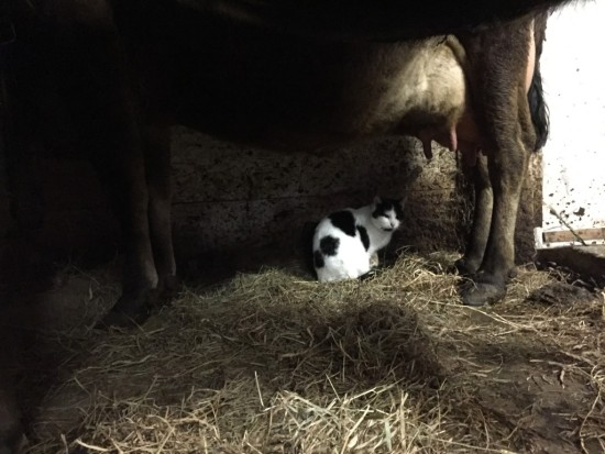 Cow and Cat, Essex Farm (Credit: Kristin Kimball)