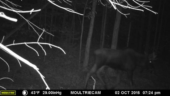 Moose captured on wildlife trail camera on Eddy Foundation land.