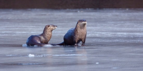 River Otters by Larry Master (www.masterimages.org)