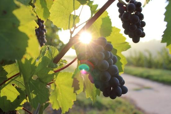 Grapes (Credit: Pixabay)