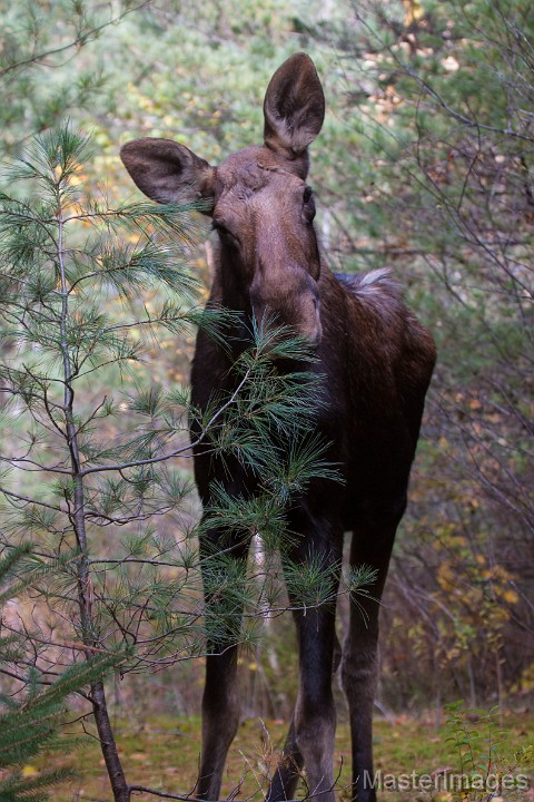 Moose by Larry Master (www.masterimages.org)