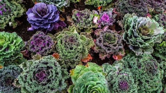 Varieties of Kale (Credit: Pixabay)