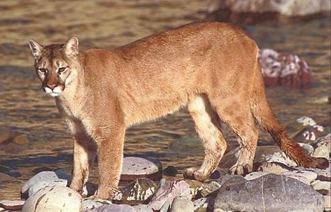 Cougar aka Puma or Mountain lion (Source: U.S. Fish and Wildlife Service)