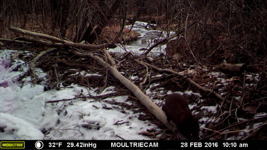 Wildlife Camera: Fisher on Beaver stick (Credit: John Davis)
