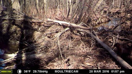 Wildlife Camera: Mink