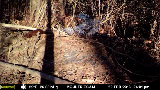 Wildlife Camera: River Otter (Credit: John Davis)