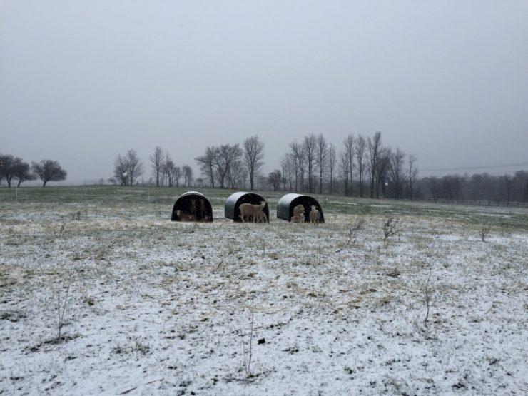Lambs in Huts