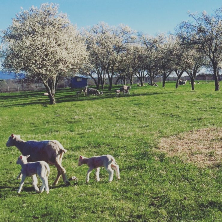 Spring lambing finished, May 2016 (Credit: Kristin Kimball)
