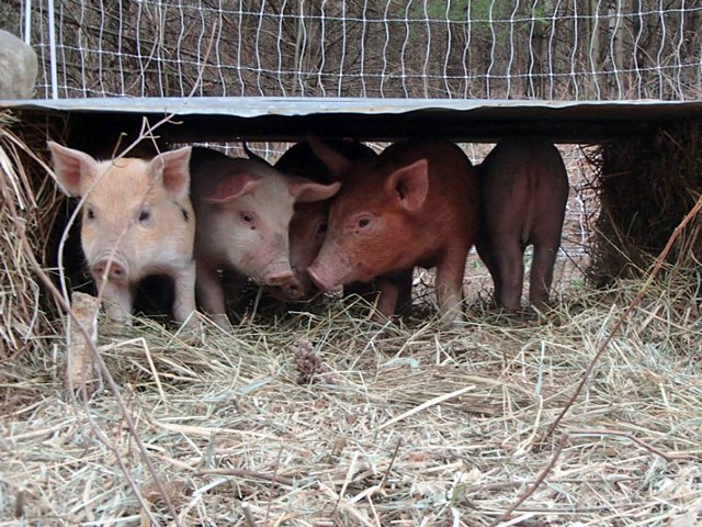 Piglets from ECHO Farm