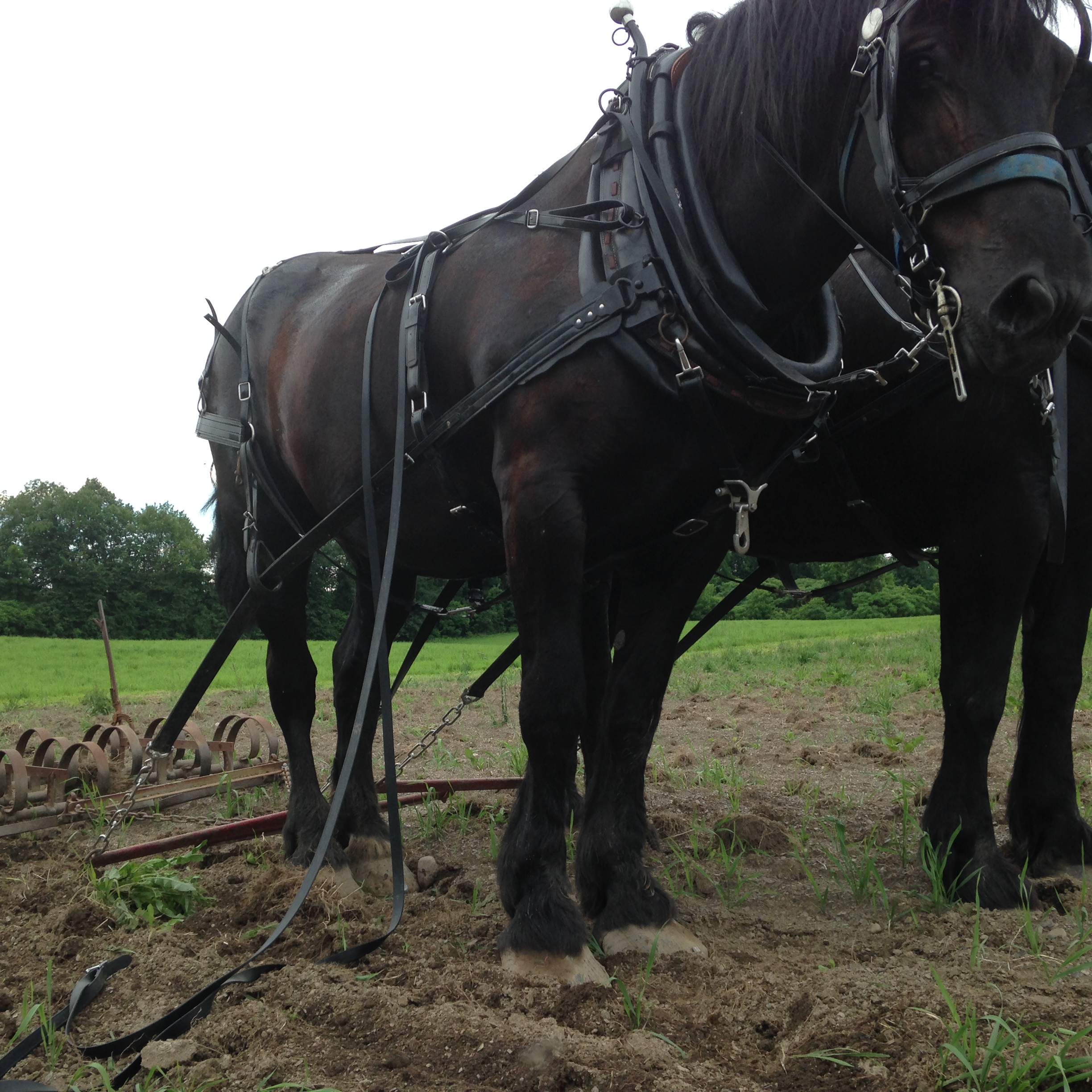 team of black Percheron mares — Pat and Pearl (Credit: Lala Niemetz)