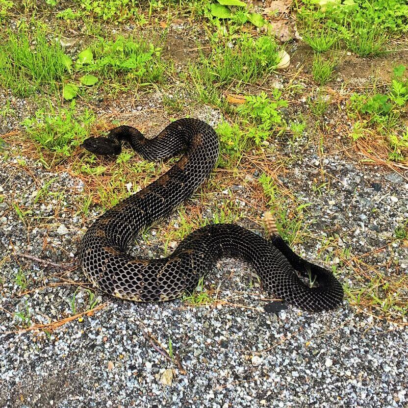 Rattlesnake Crossing Lakeshore Road (Source: John Davis)
