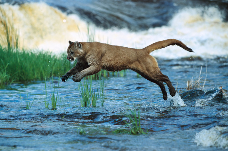 Cougars can kill hundreds of deer over the course of their lives, leading some scientists to argue that restoring them to 19 states with large populations of deer could prevent automobile-deer collisions. (Credit Konrad Wothe/Minden Pictures)