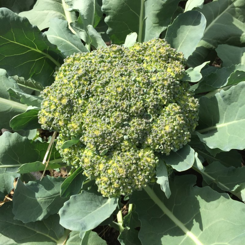 Organic Broccoli Head, Summer 2016 (Source: Rosslyn Redux)
