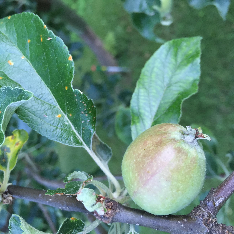 Young Apple, Rosslyn Orchard (Credit: virtualDavis)