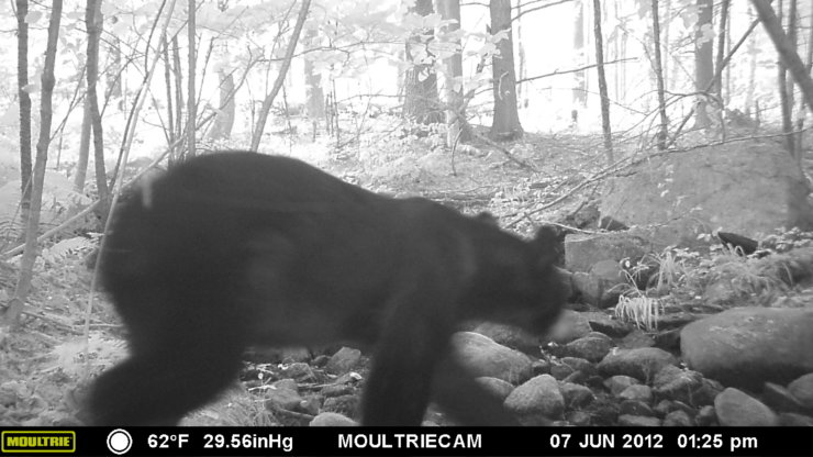 Split Rock Wildlife Sighting: Black Bear (Credit: John Davis)