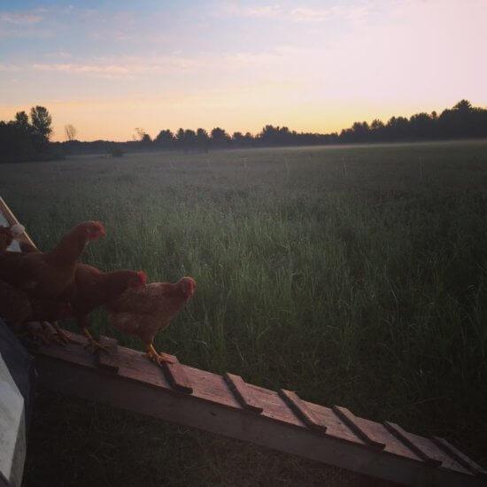 Chickens at Essex Farm