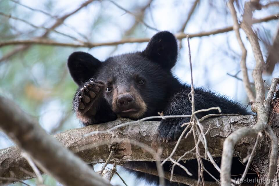 American Black Bear by Larry Master (masterimages.org)