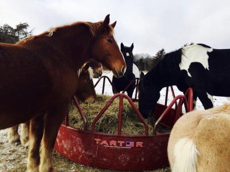 Essex Farm Horses