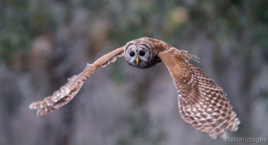 Barred Owl by Larry Master (Credit: masterimages.org)