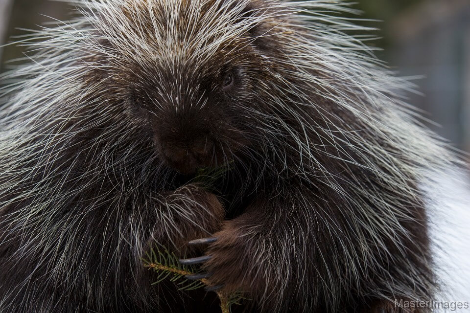 Porcupine Eating by Larry Master (masterimages.org)