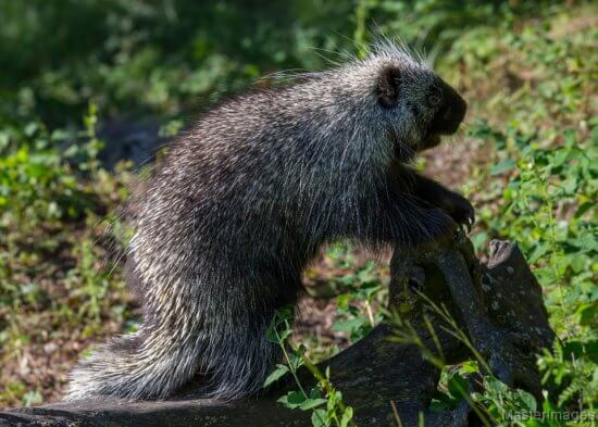 Porcupine by Larry Master (masterimages.org)