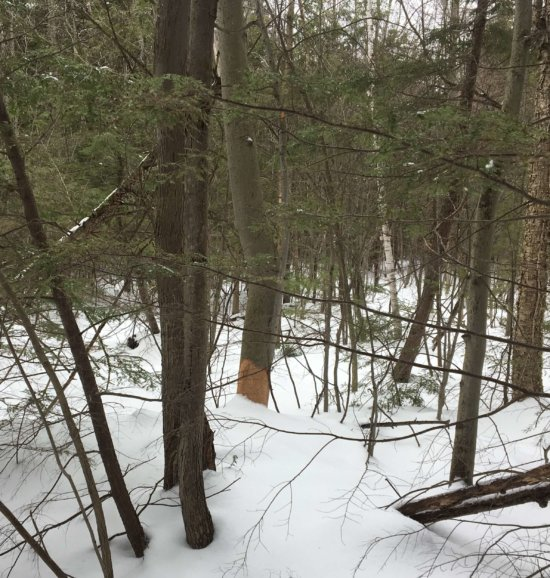 Tree Chewed by Porcupine
