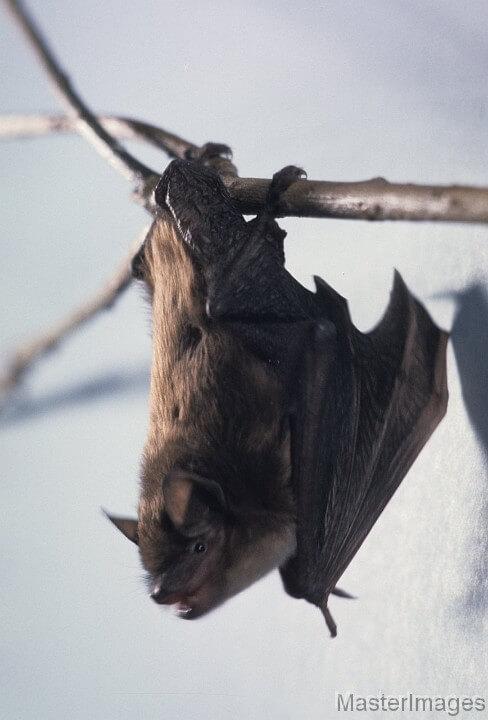 Big Brown Bat by Larry Master