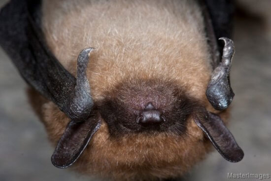 Eastern Small-footed Bat by Larry Master