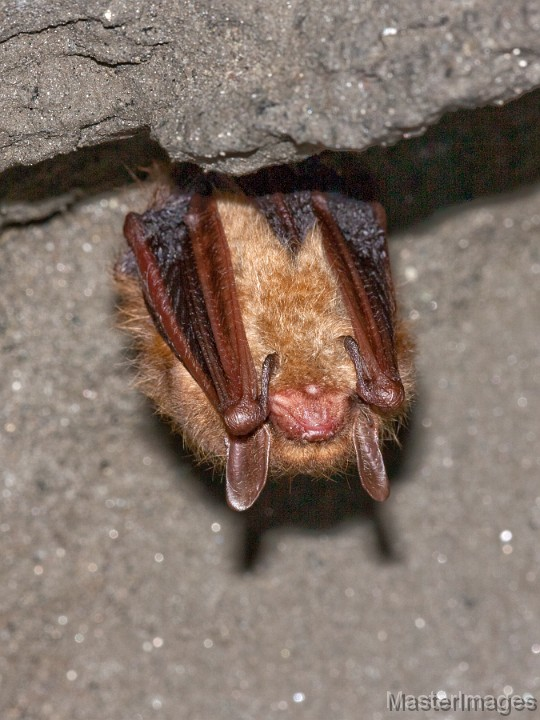 Tricolored Bat by Larry Master