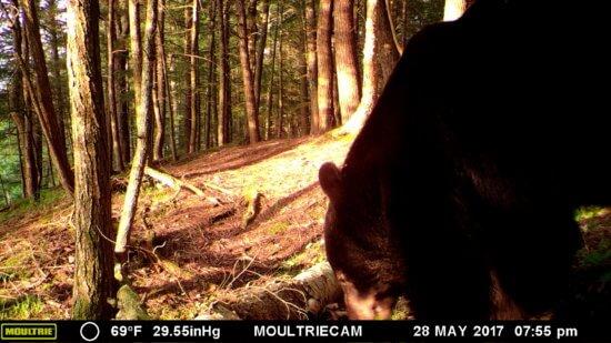 Black Bear (Credit: John Davis)