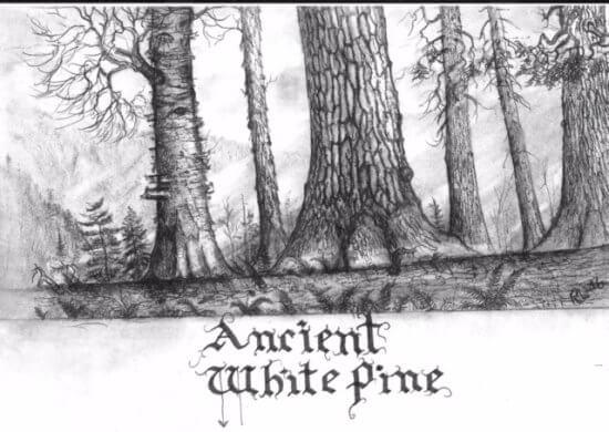 Ancient White Pine Sketch (Credit: Rob Leverett)