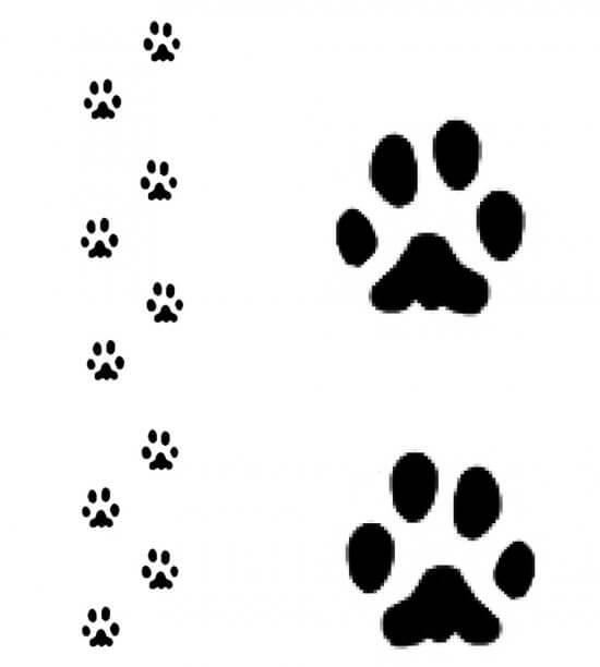 Bobcat Track Pattern (Credit: Sheri Amsel, exploringnature.org)
