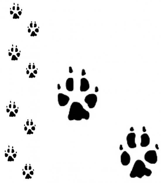 Coyote Track Pattern (Credit: Sheri Amsel, exploringnature.org)
