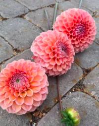 Dahlia- apricot/peach