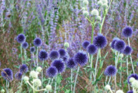 Globe Thistle- blue/violet and silver