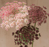 Queen Anne's Lace- chocolate